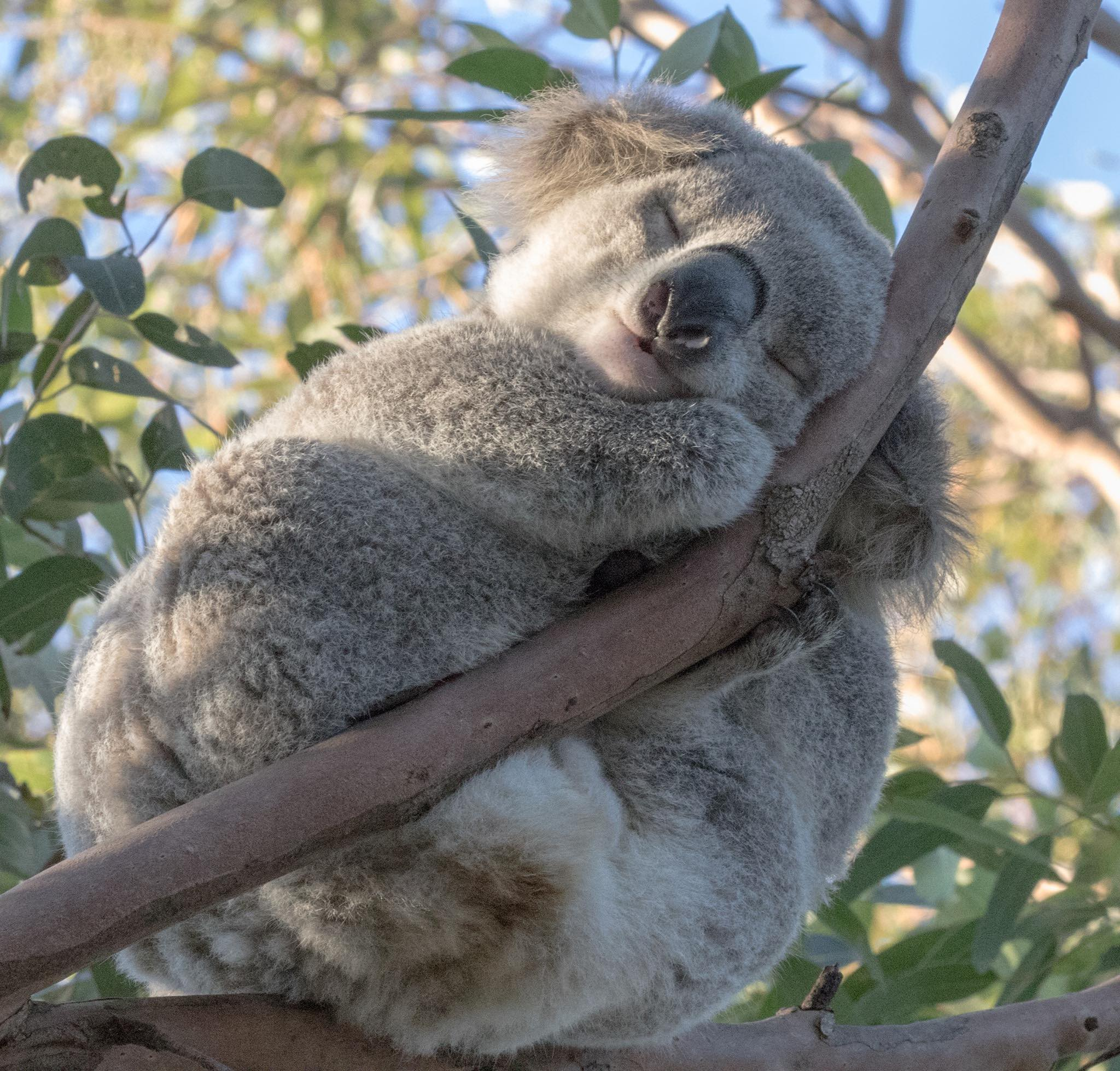 Koala1 Engadine Brian Everingham